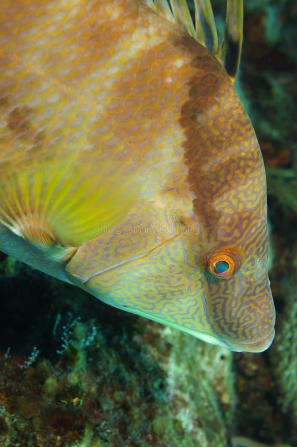 Download Hogfish stock photo. Image of fish, seeking, scrawled - 4770628