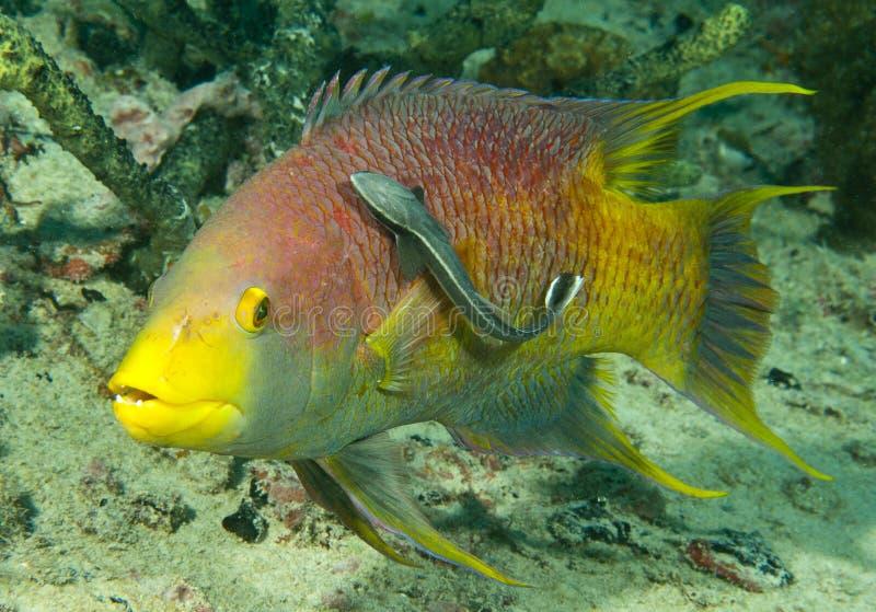Hogfish e sharksucker spagnoli fotografia stock libera da diritti
