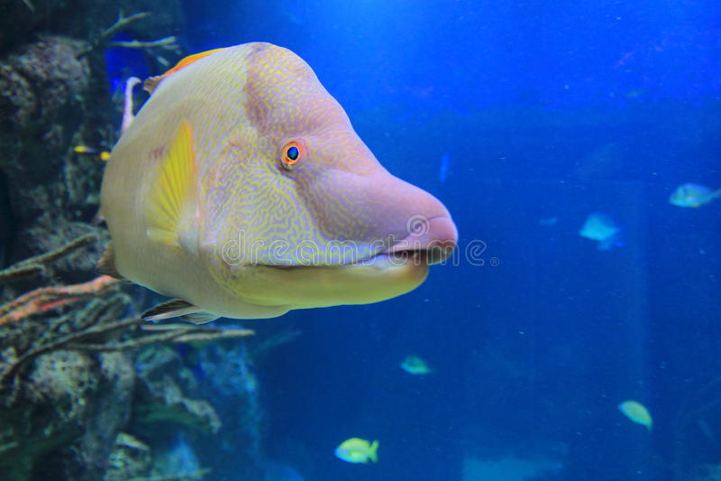 Hogfish spagnolo immagini stock