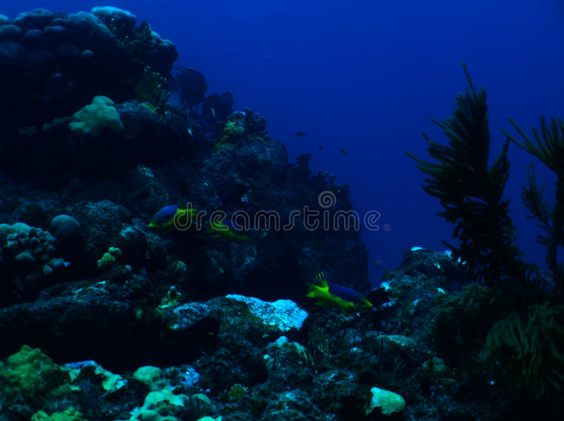Hogfish spagnolo immagine stock
