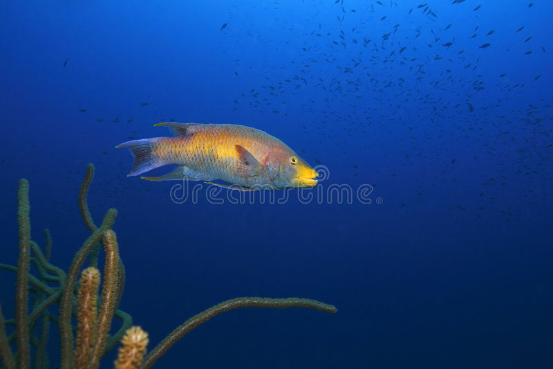 Hogfish spagnolo (rufus di Bodianus) immagine stock libera da diritti
