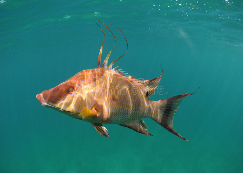 Hogfish Swimming Underwater Stock Images