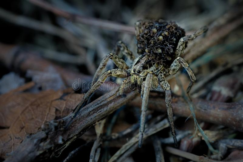 Hogna radiata with children on on its back, species of wolf spider present in South Europe, north Africa and Central Asia. Hogna radiata species of wolf spider royalty free stock photography