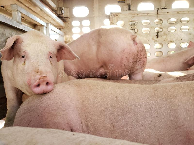 Hogs heading to market. Pigs in a livestock truck being transported to market royalty free stock image
