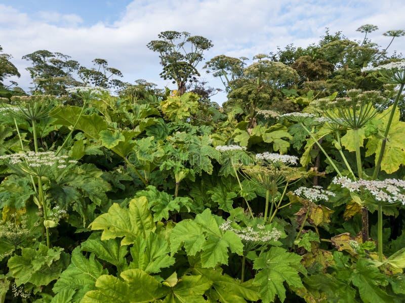 hogweed的丛林毒 危险植物比一个人高 免版税库存照片