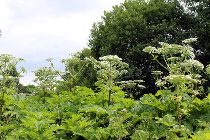 Hogweed растя около дороги Очень опасный завод который причиняет строгие ожога кожи стоковые изображения