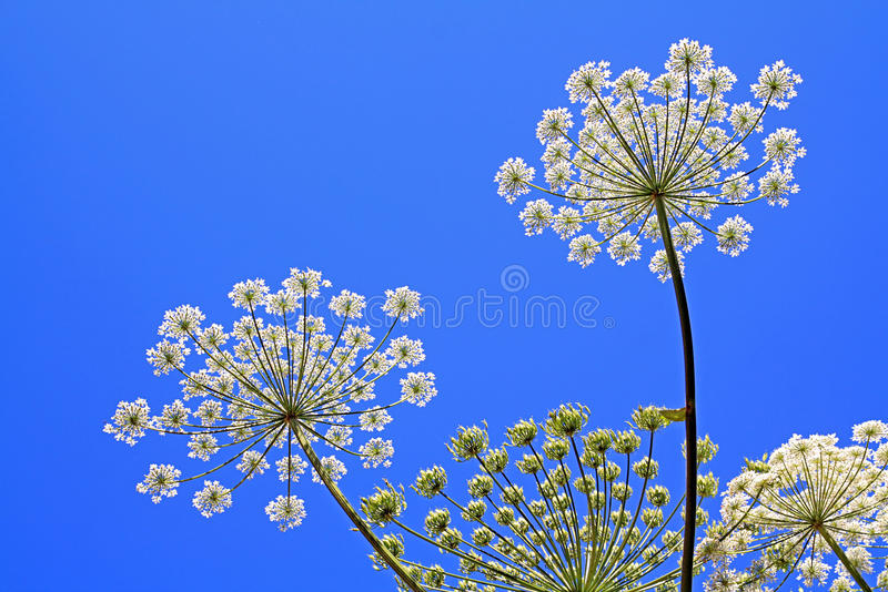 Download Hogweed stockbild. Bild von betrieb, wachsen, field, blüte - 12200963