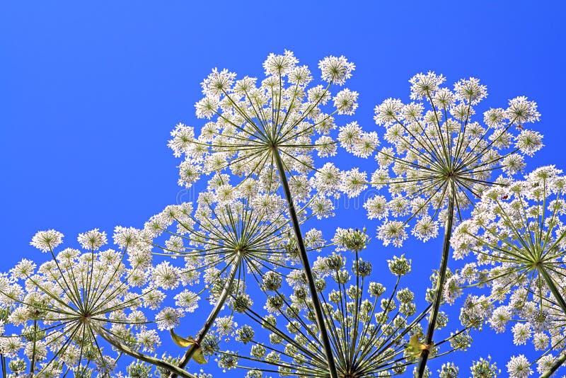 Hogweed. Stalk hogweed on background blue sky royalty free stock photos
