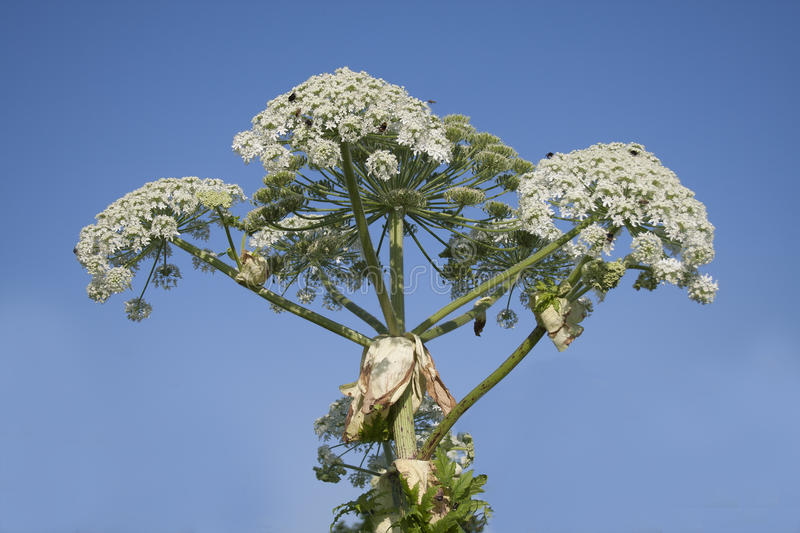 Hogweed immagine stock