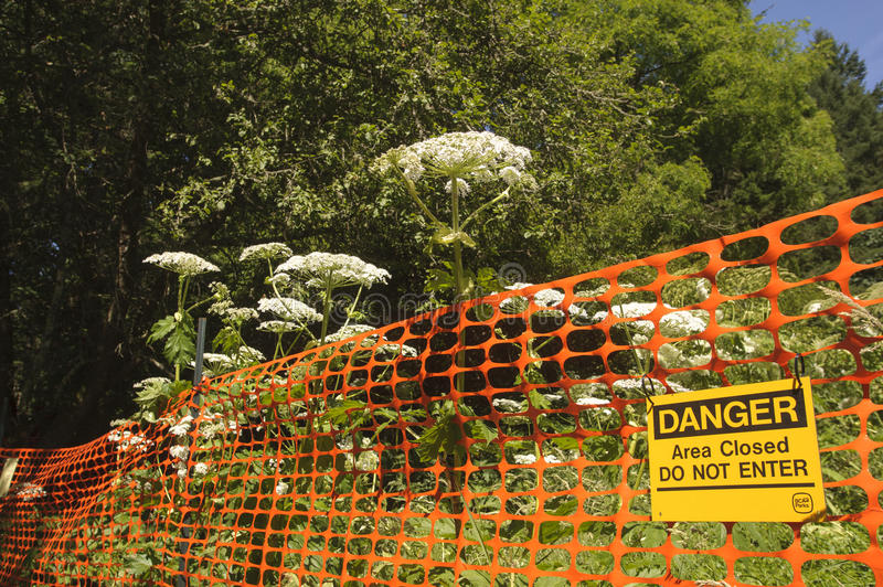 Hogweed. BC Parks warning sign for Giant Hogweed (Heracleum mantegazzianum), Gabriola, British Columbia, Canada. Hogweed is a poisonous plant stock photo
