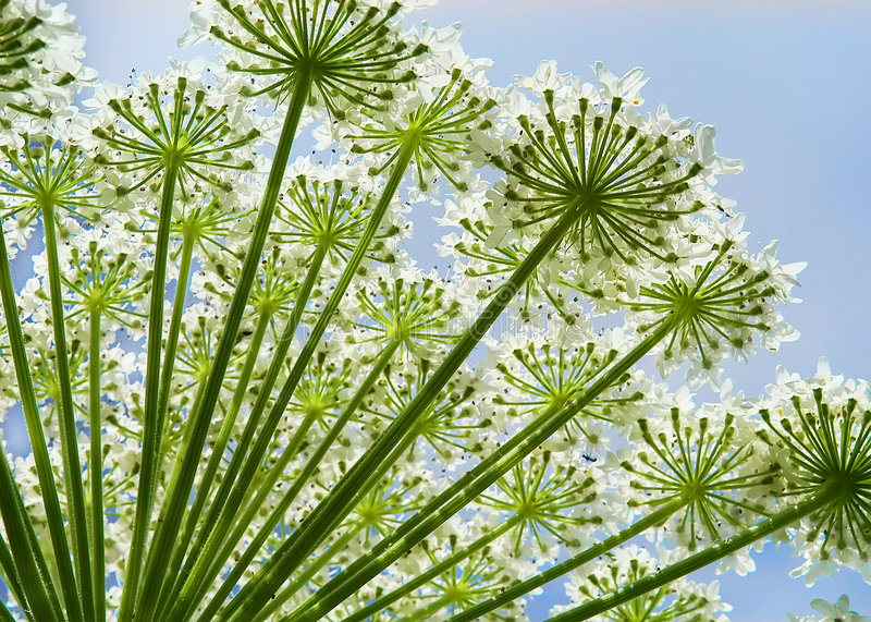 hogweed blommaheracleum fotografering för bildbyråer