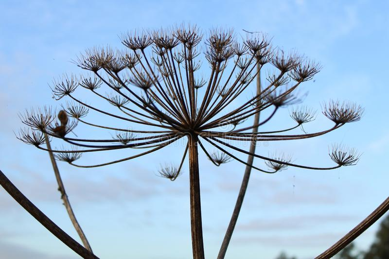 Hogweed and blue sky. Hogweed before the blue sky stock images