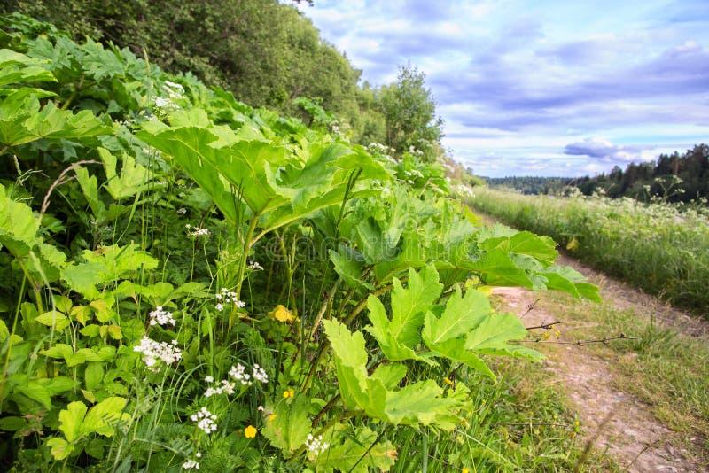 Hogweed busksnår längs en landsväg arkivfoton