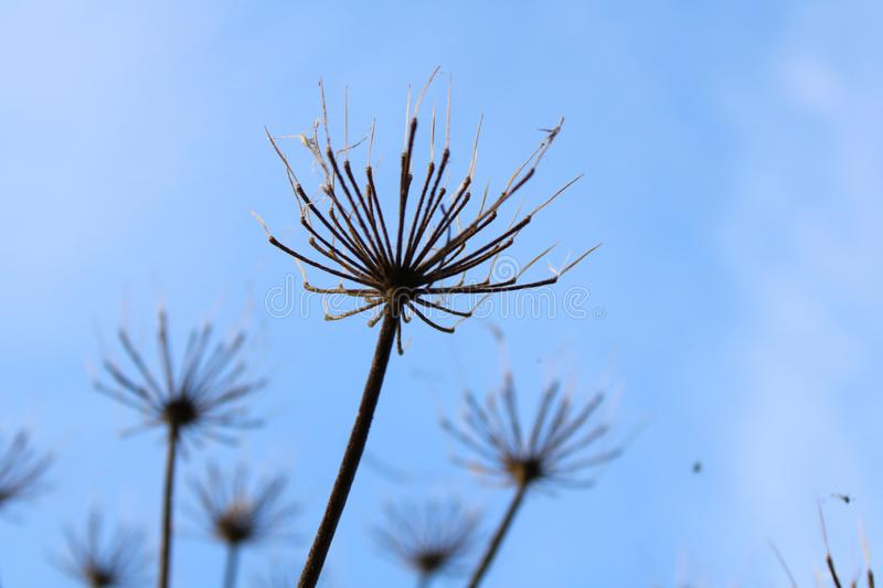 Hogweed close-up. Close-up of a hogweed and a blue sky royalty free stock images