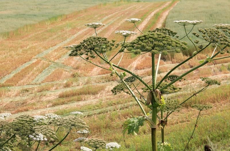 Hogweed on field one. Big hogweed on field in countryside royalty free stock photography