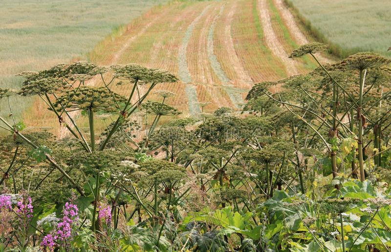 Hogweed on field three. Big hogweed on field in countryside stock photos