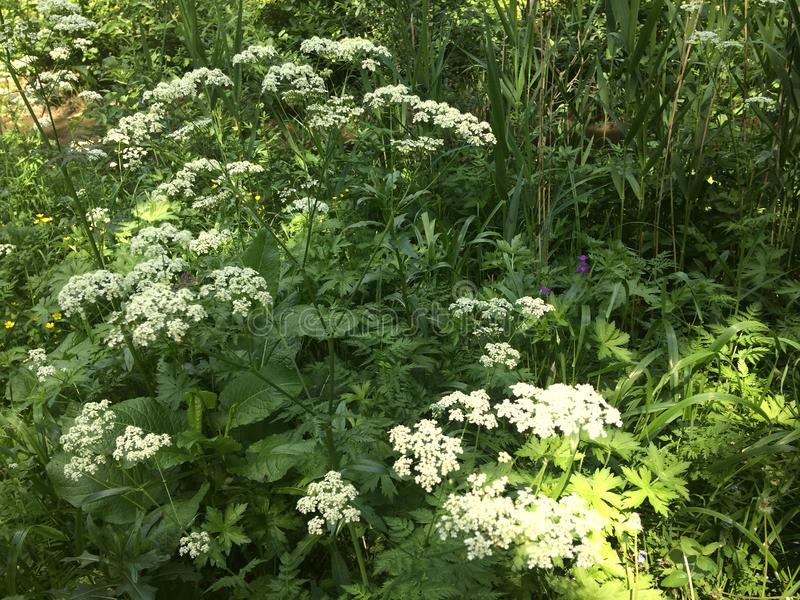 Hogweed in the forest. Beautiful flowers royalty free stock photos