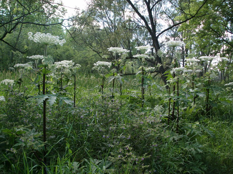 Hogweed. Giant hogweed growing wild in the forest royalty free stock photos