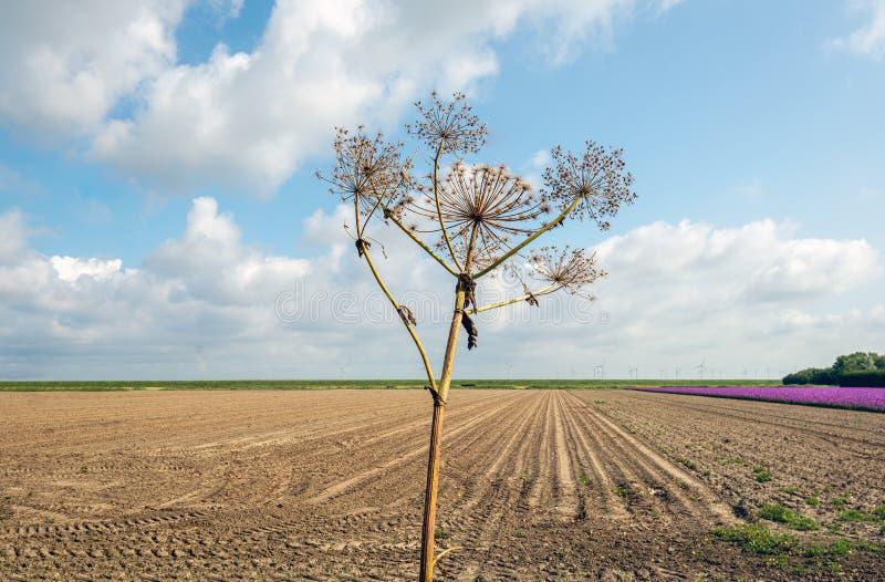 Hogweed gigante seco que siluetea contra el cielo nublado imágenes de archivo libres de regalías