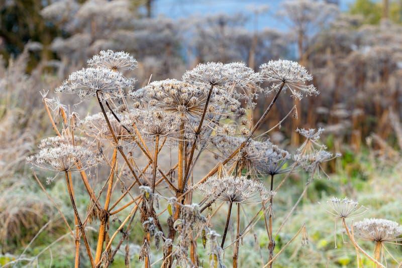 Hogweed a hoarfrost in autunno fotografie stock libere da diritti