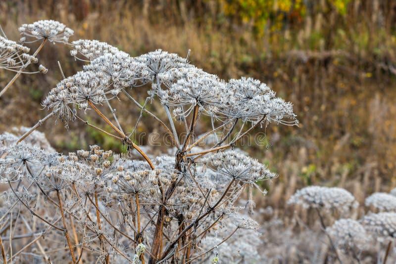 Hogweed in hoarfrost royalty-vrije stock afbeeldingen