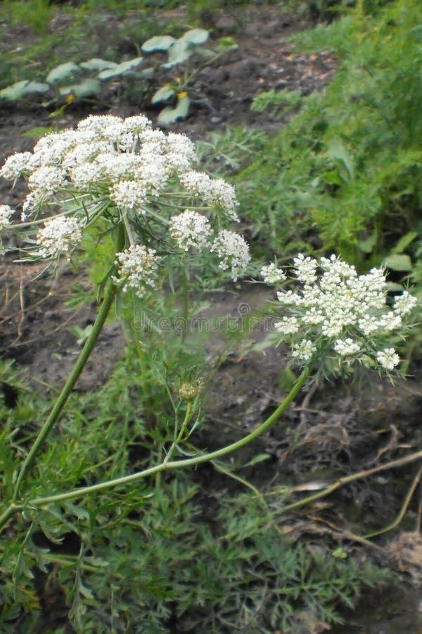 Hogweed, inflorescencia de las flores blancas, mala hierba grande, gruesa, blanco-florecida de la familia del perejil foto de archivo