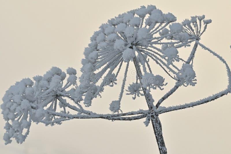 Hogweed met sneeuw royalty-vrije stock afbeeldingen