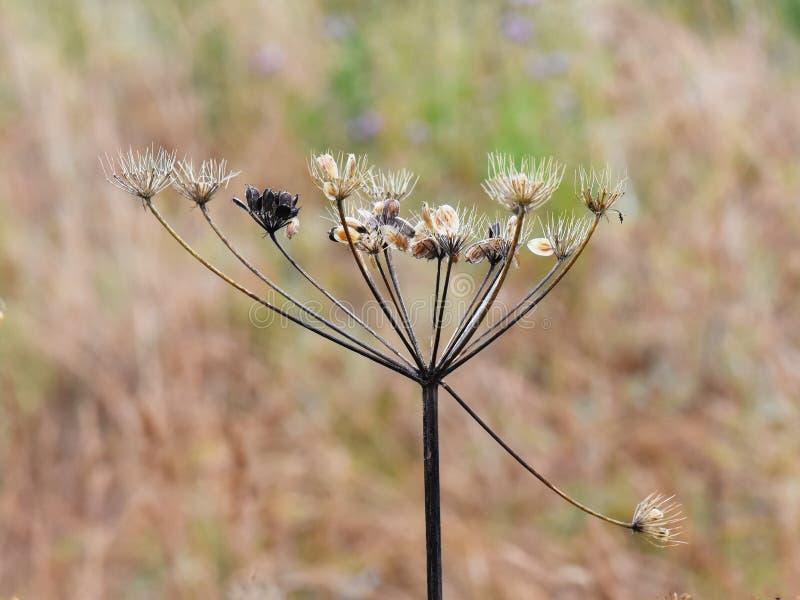 Hogweed seed stock image