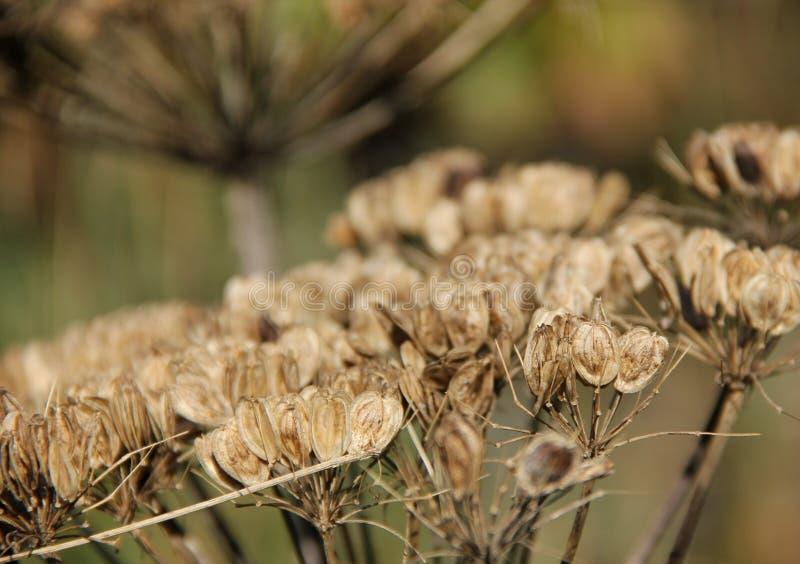 Hogweed Seed Head. The dry brown Seed Head of a heracleum sphondylium or Hogweed growing on the island of Kodiak, Alaska, USA royalty free stock image