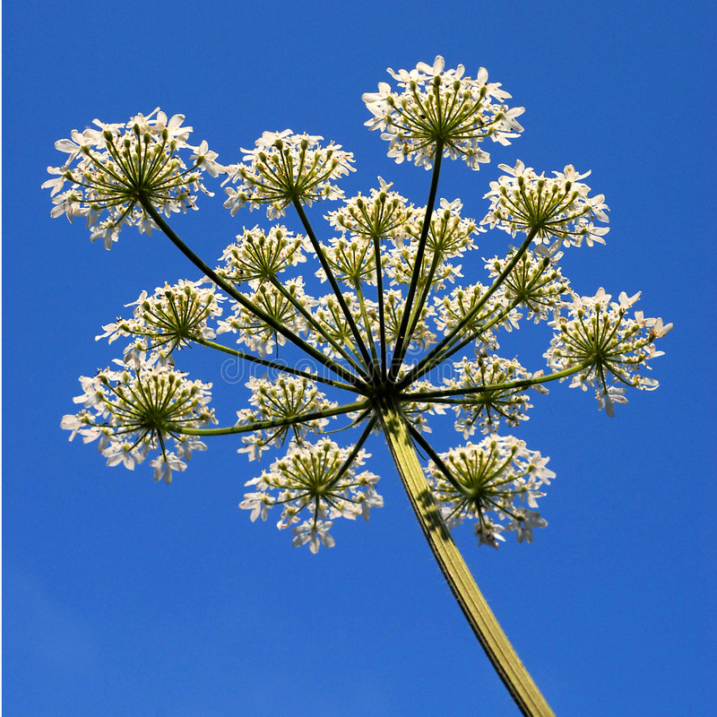 Hogweed and sky. Hogweed (Heracleum sphondylium) against a blue sky royalty free stock photos