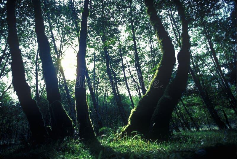 HOH National First Washington Rain Forest Olympic Peninsula, WA immagini stock libere da diritti