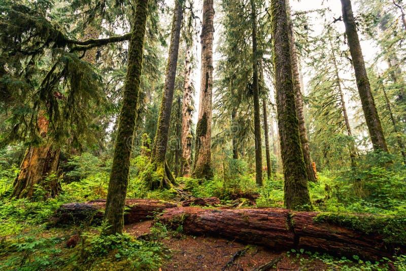 Hoh Rain Forest,美利坚合众国华盛顿,自然,景观,背景,野生动物,麋鹿,旅游,旅游,美国,北 免版税库存图片
