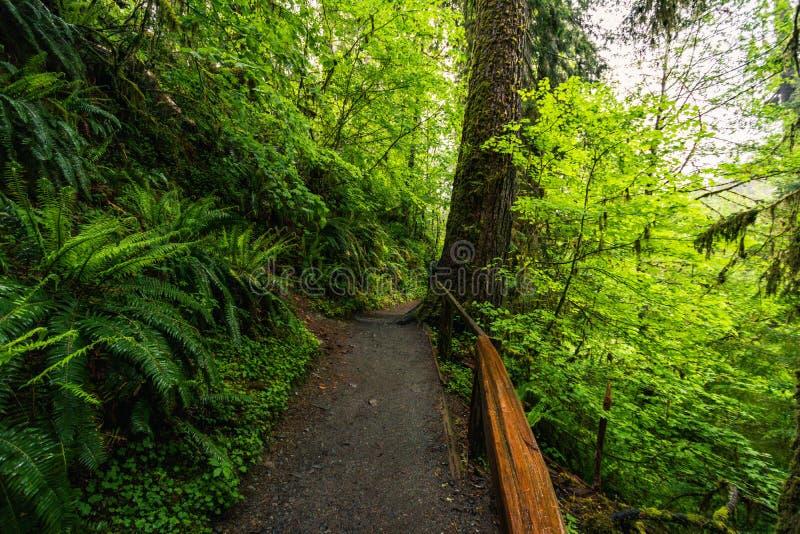 Hoh Rain Forest,美利坚合众国华盛顿,自然,景观,背景,野生动物,麋鹿,旅游,旅游,美国,北 免版税库存照片