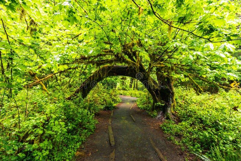 Hoh Rain Forest,美利坚合众国华盛顿,自然,景观,背景,野生动物,麋鹿,旅游,旅游,美国,北 库存图片