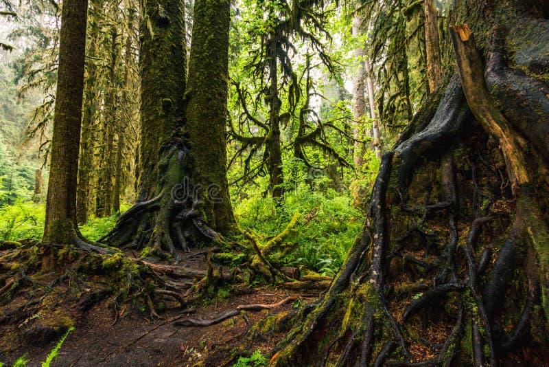 Hoh Rain Forest,美利坚合众国华盛顿,自然,景观,背景,野生动物,麋鹿,旅游,旅游,美国,北 库存照片