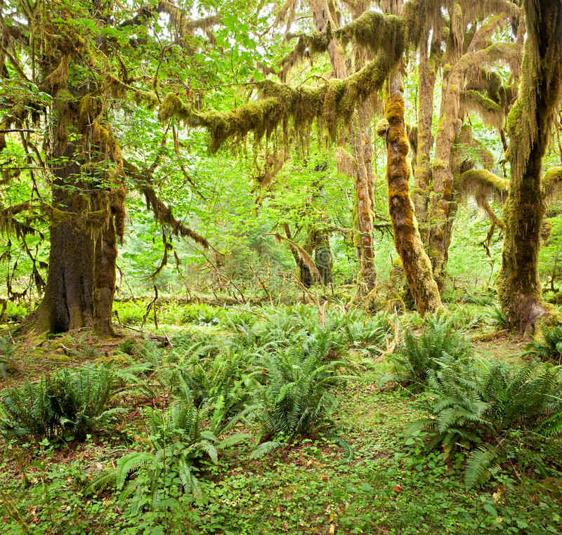 Download Hoh Rain Forest stock photo. Image of bigleaf, forest - 16313940