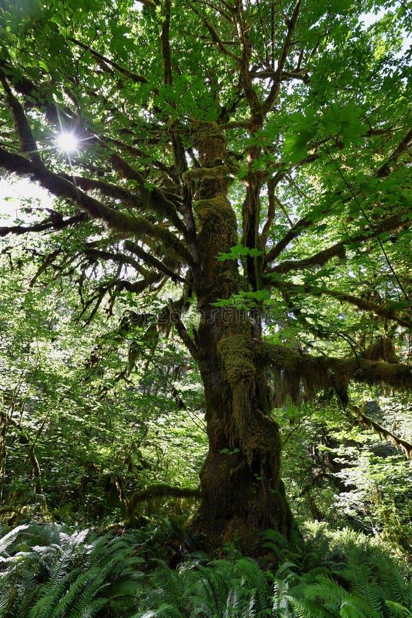 Hoh Rain Forest stock foto