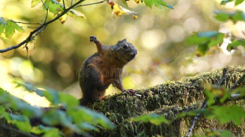 Hoh Rain Forest, Olympisch Nationaal Park, WASHINGTON de V.S. - Oktober 2014: Rode Eekhoornzitting op een mos behandelde boom royalty-vrije stock fotografie