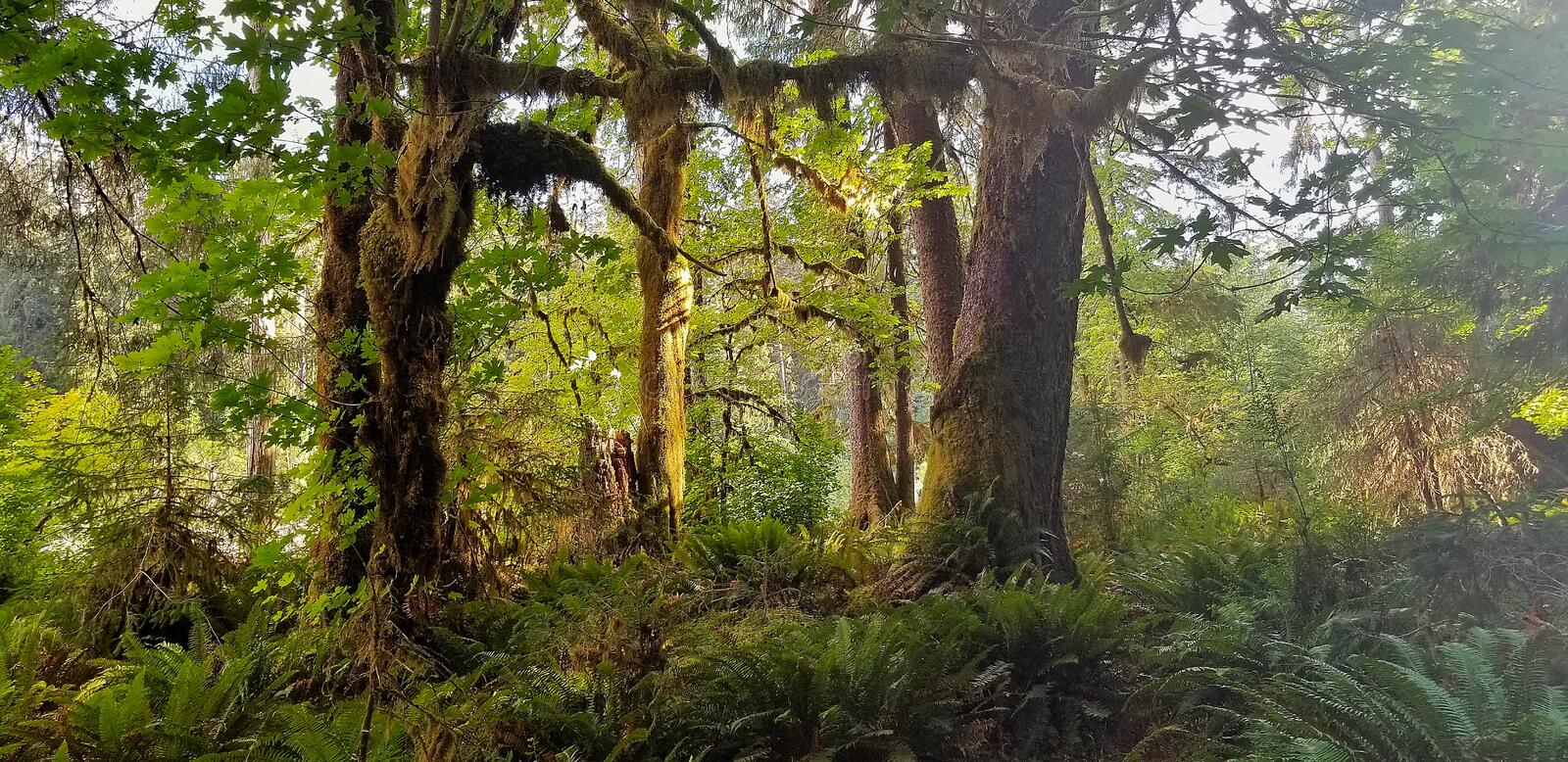 Hoh Rain Forest in Washington stock images
