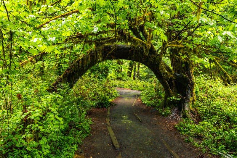 Hoh Rain Forest, Washington, Vereinigte Staaten von Amerika, Natur, Landschaft, Hintergrund, Wildtierwelt, Elk, Tourismus, Travel lizenzfreie stockfotografie