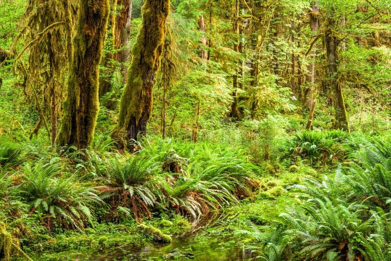 Hoh Rainforest no parque nacional olímpico, Washington, EUA imagens de stock