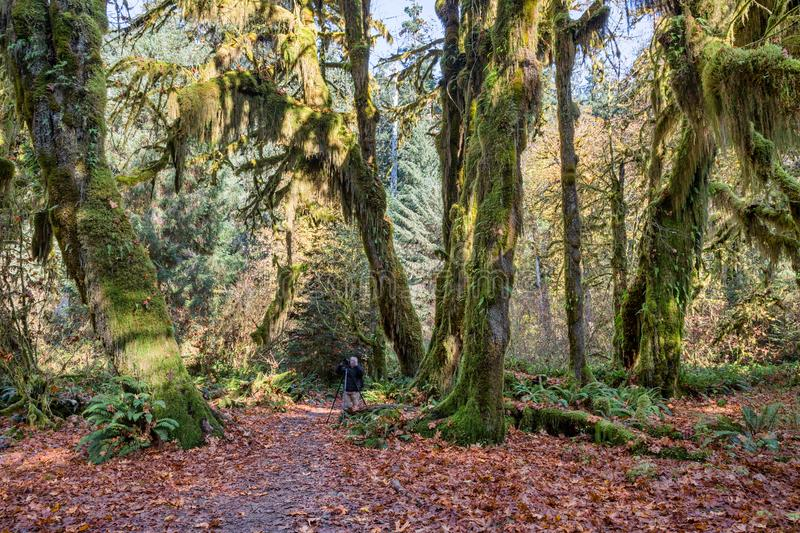 Hoh Rainforest at Olympic national Park, Washington, USA. Hall of Mosses in the Hoh Rainforest at Olympic national Park, Washington, USA royalty free stock image