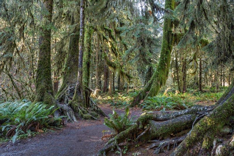 Hoh Rainforest at Olympic national Park. Washington, USA royalty free stock photos