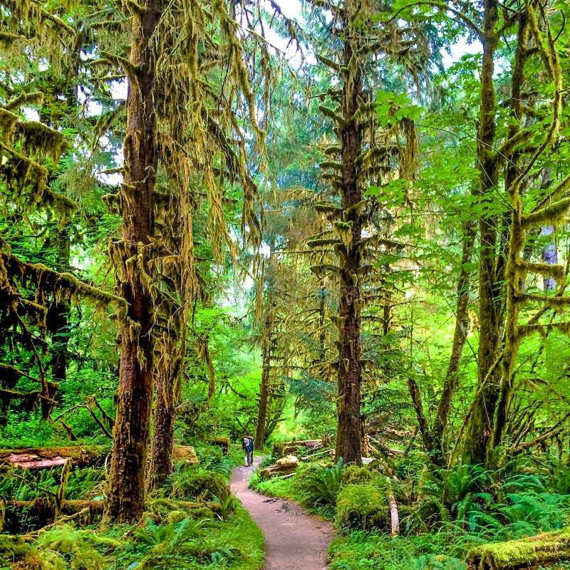 Hoh tropikalny las deszczowy zdjęcie stock
