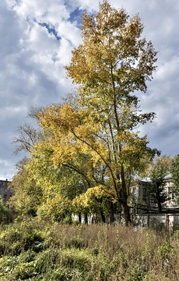 Hohe alte Herbstpappel mit Gelb verlässt auf Himmelhintergrund stockfoto
