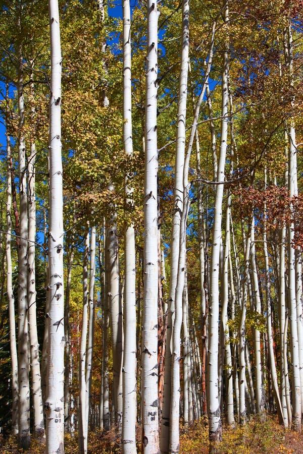 Hohe Aspen-Bäume lizenzfreie stockfotografie