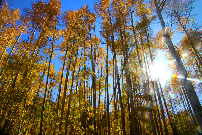 Hohe Aspen-Bäume und Sonnestrahlen lizenzfreie stockfotografie