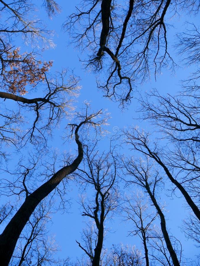 Hohe Bäume bis zum Himmel lizenzfreie stockfotos