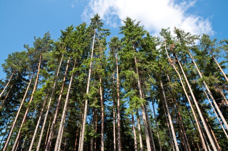 Hohe Bäume im Wald stockfotografie