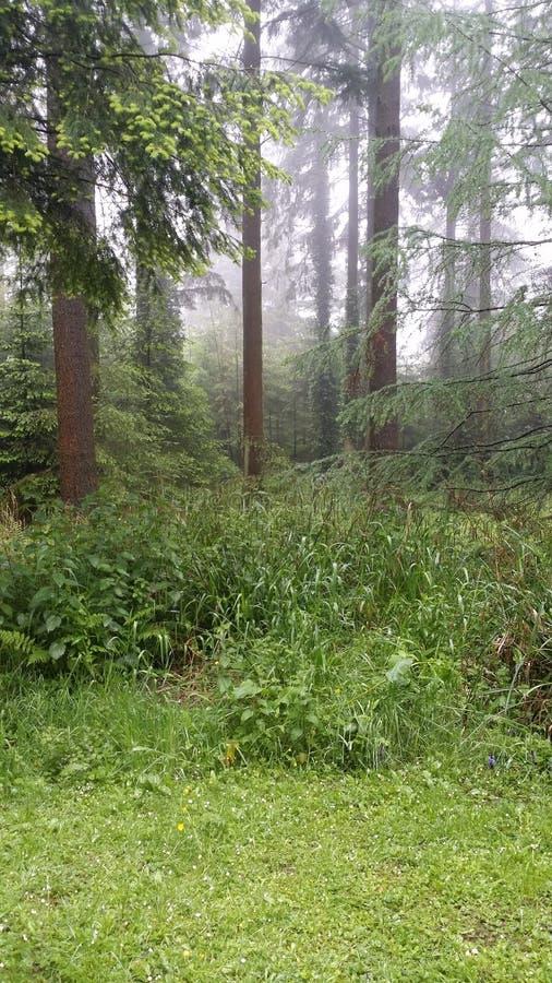 Hohe Bäume im Wald lizenzfreie stockbilder